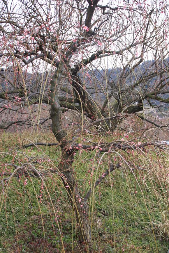 SKY130223 紅白の梅の花、しだれ梅の花は柔らかい曲線を描きとっても美しい。_d0288367_20292599.jpg
