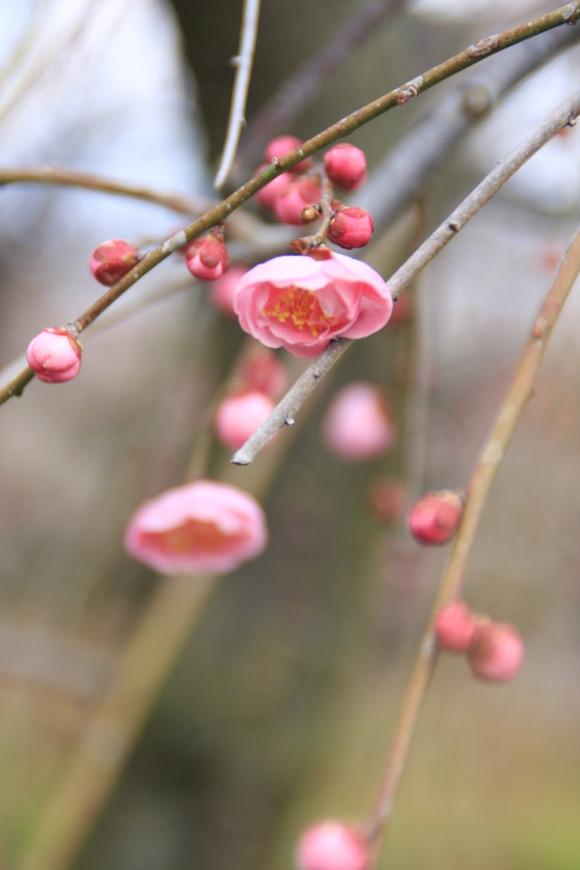 SKY130223 紅白の梅の花、しだれ梅の花は柔らかい曲線を描きとっても美しい。_d0288367_20295673.jpg