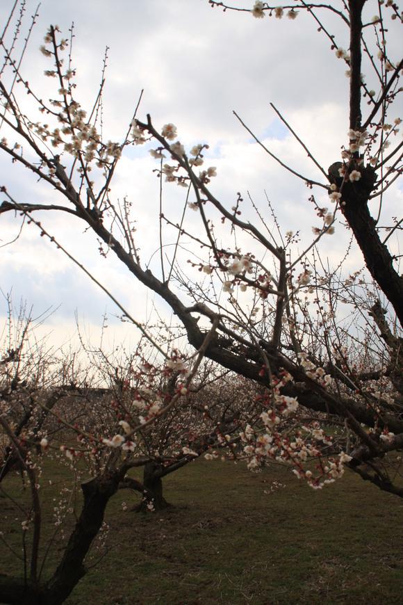 SKY130223 紅白の梅の花、しだれ梅の花は柔らかい曲線を描きとっても美しい。_d0288367_20301865.jpg