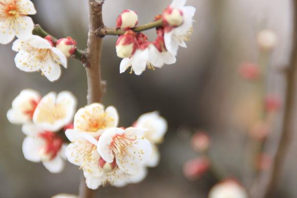 SKY130223 紅白の梅の花、しだれ梅の花は柔らかい曲線を描きとっても美しい。_d0288367_2030648.jpg