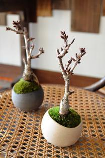 さくら盆栽展 新入荷のご案内_d0263815_16233678.jpg