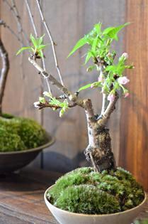さくら盆栽展 新入荷のご案内_d0263815_16284011.jpg