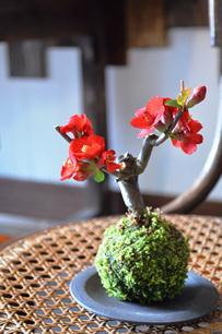 さくら盆栽展 新入荷のご案内_d0263815_1637371.jpg