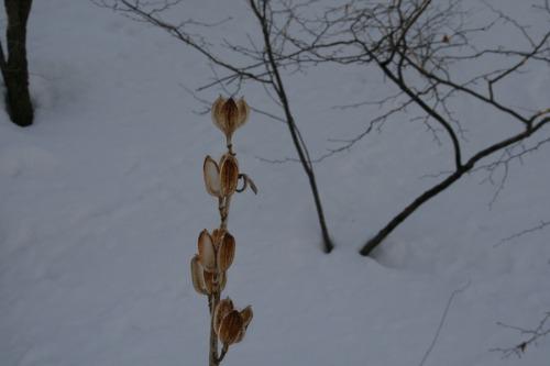 冬のウバユリ_b0174425_14232996.jpg