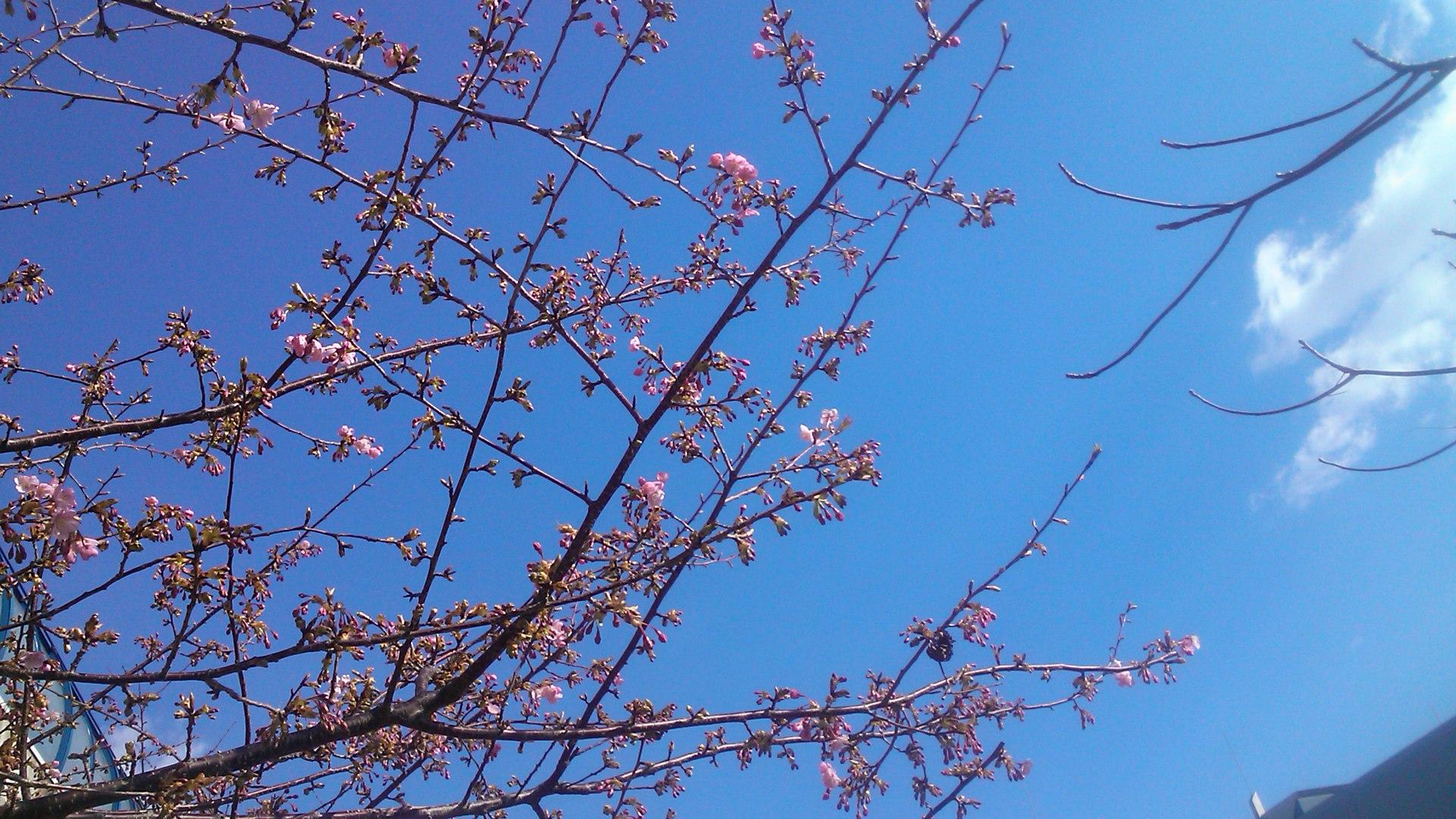 桜まつりですが.....寒さで開花しません。_b0137932_1353478.jpg