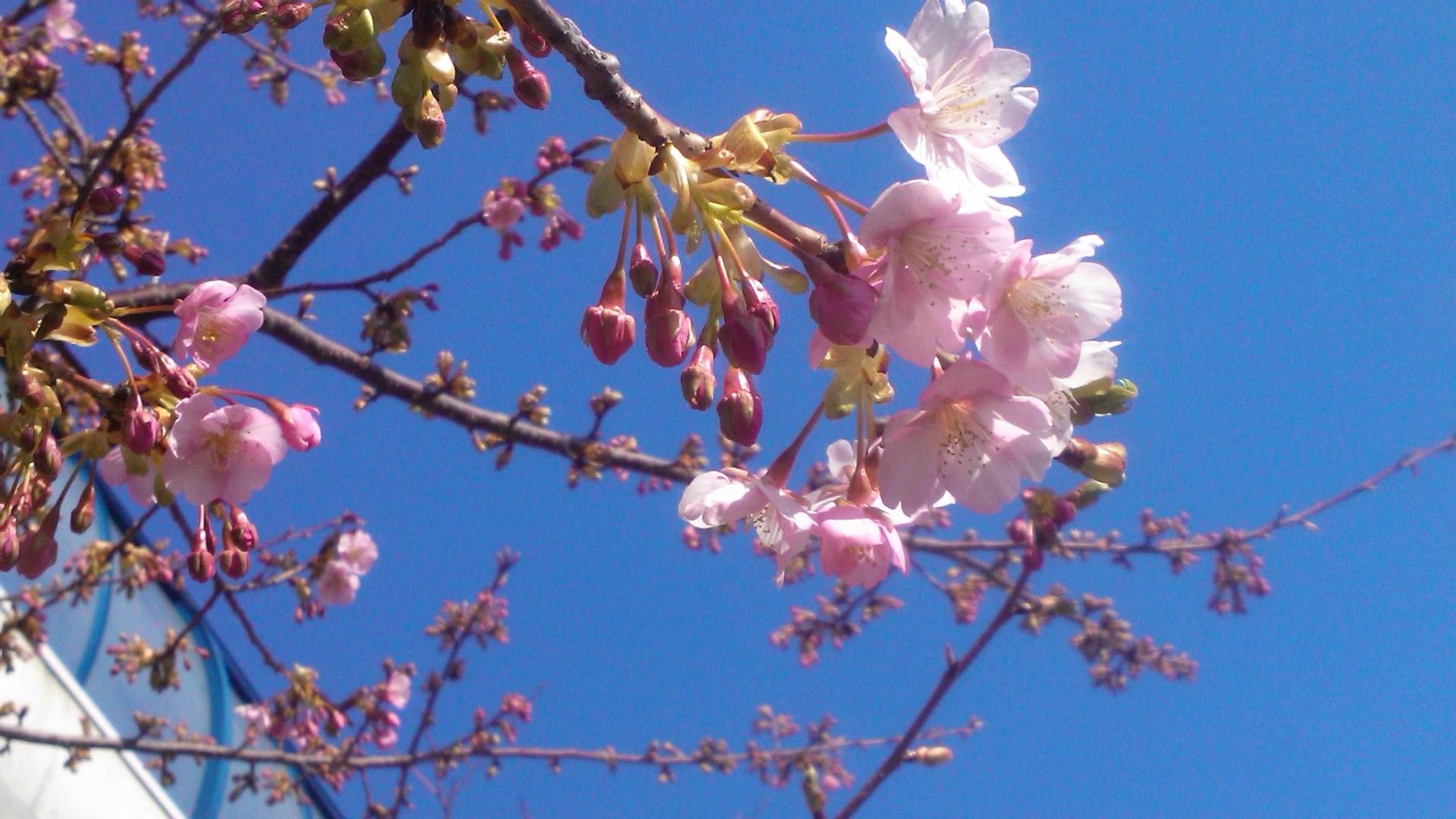 桜まつりですが.....寒さで開花しません。_b0137932_1354597.jpg