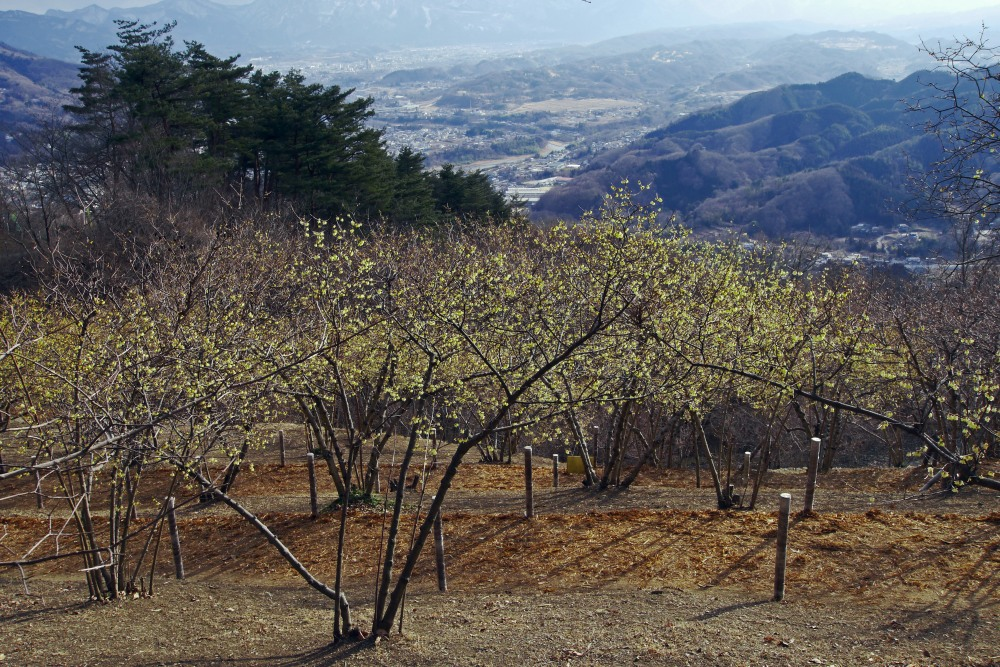 宝登山の蝋梅を撮る_c0252688_12215697.jpg