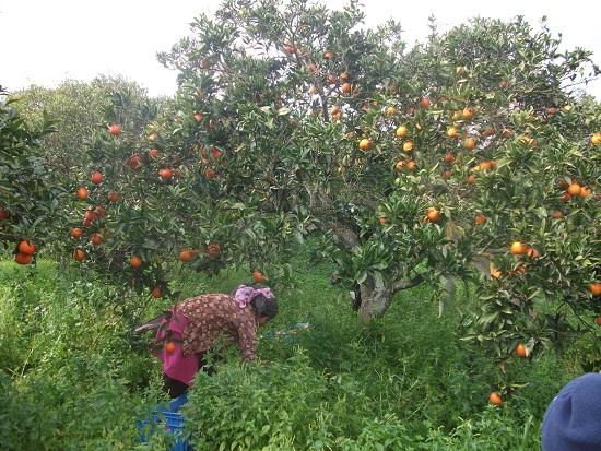 オレンジ畑_f0253303_022289.jpg