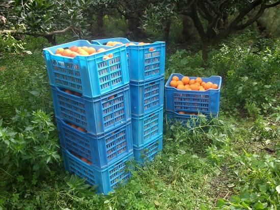 オレンジ畑_f0253303_031789.jpg