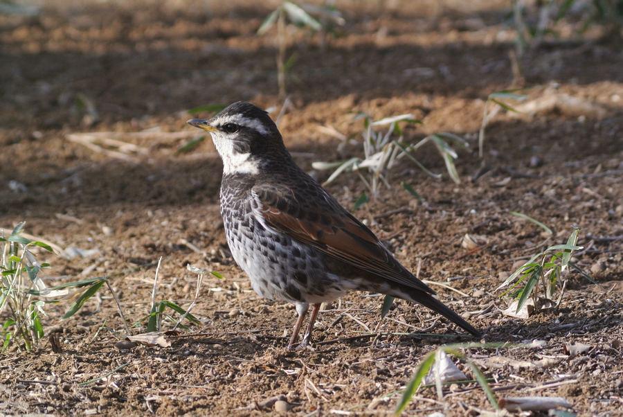 近所の森の野鳥たち_e0089232_1758232.jpg