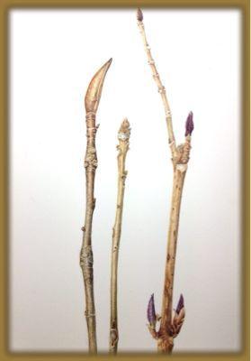 冬芽の仕上げ_c0206645_15131240.jpg