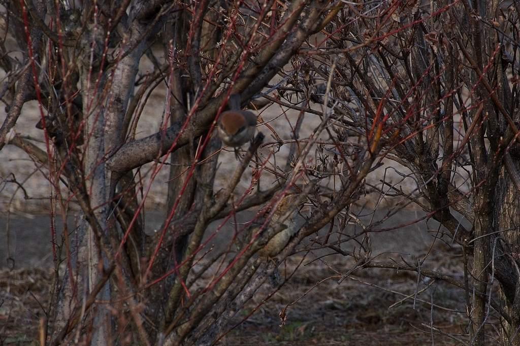 アリスイ、モズに突っかかる/今日のカワセミ&アリスイ/今朝の満月_b0024798_20432241.jpg