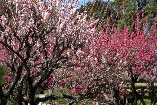 熊本で梅を愛でる1 水前寺公園_e0048413_19111198.jpg