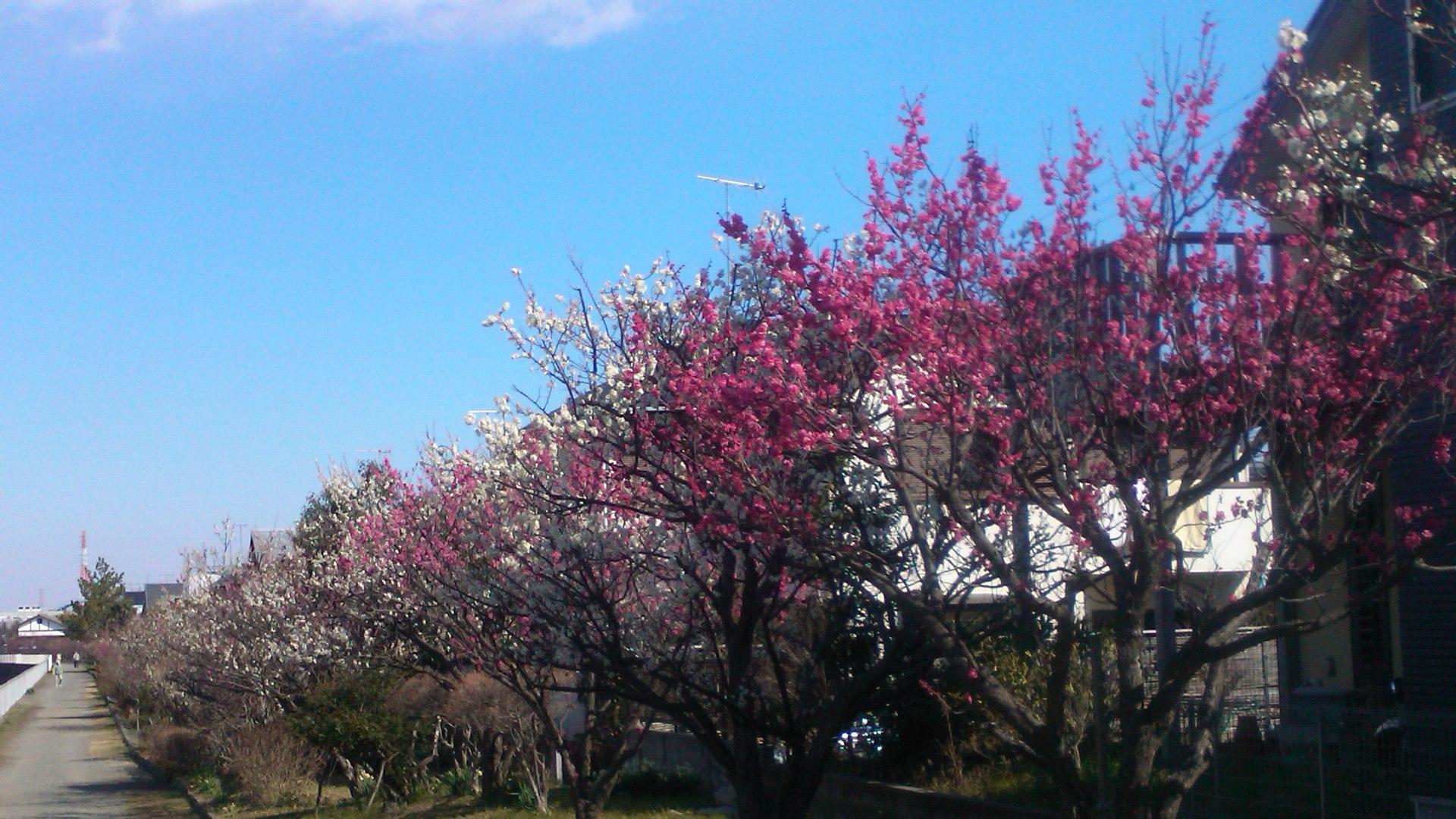 梅や桜の開花が遅れています。_b0137932_10264286.jpg