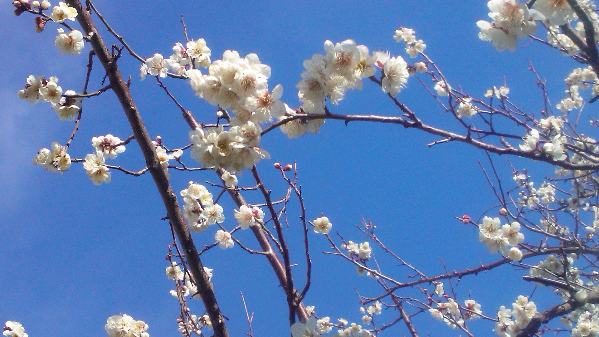 梅や桜の開花が遅れています。_b0137932_10271579.jpg