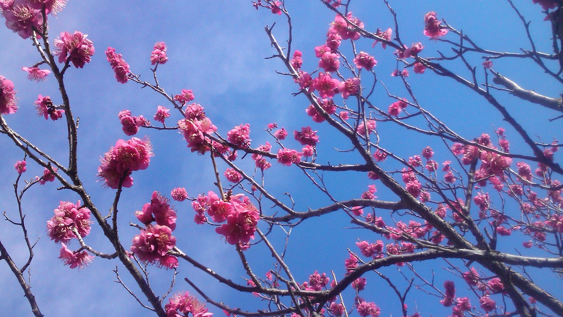 梅や桜の開花が遅れています。_b0137932_10273535.jpg