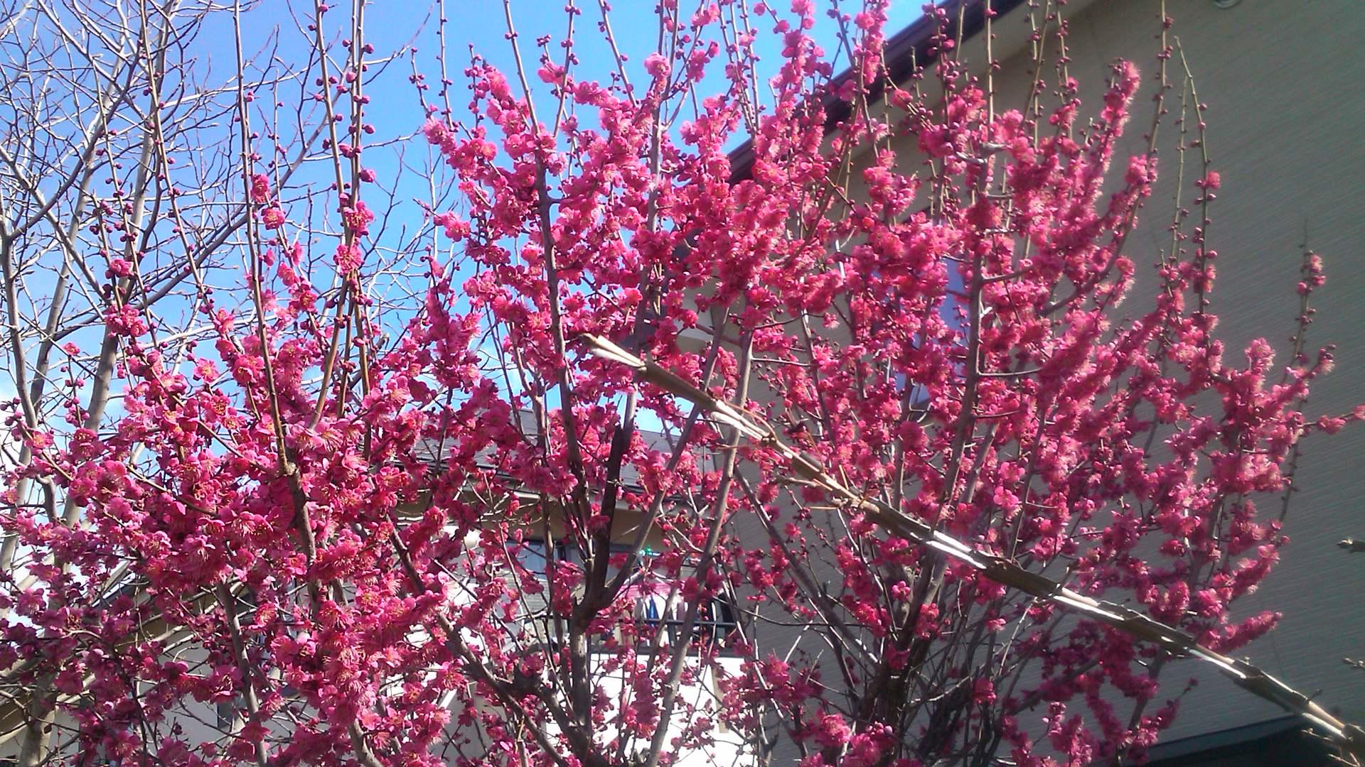梅や桜の開花が遅れています。_b0137932_10283384.jpg