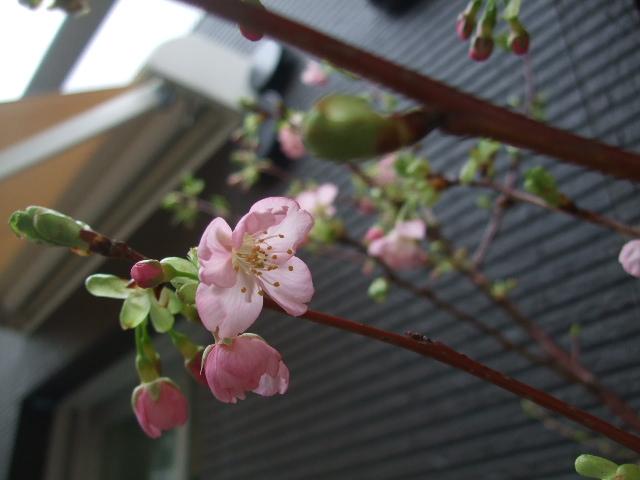 オークリーフ(河津桜)_f0049672_15351034.jpg