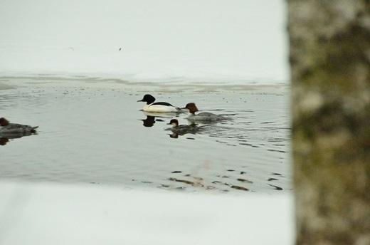 2013年2月28日(木):氷は緩むが雪は降る[中標津町郷土館]_e0062415_22193017.jpg