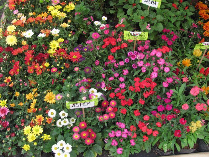 バギオ・フラワーフェスティバル 3月3日まで --- Session Road in Bloom_a0109542_124335.jpg