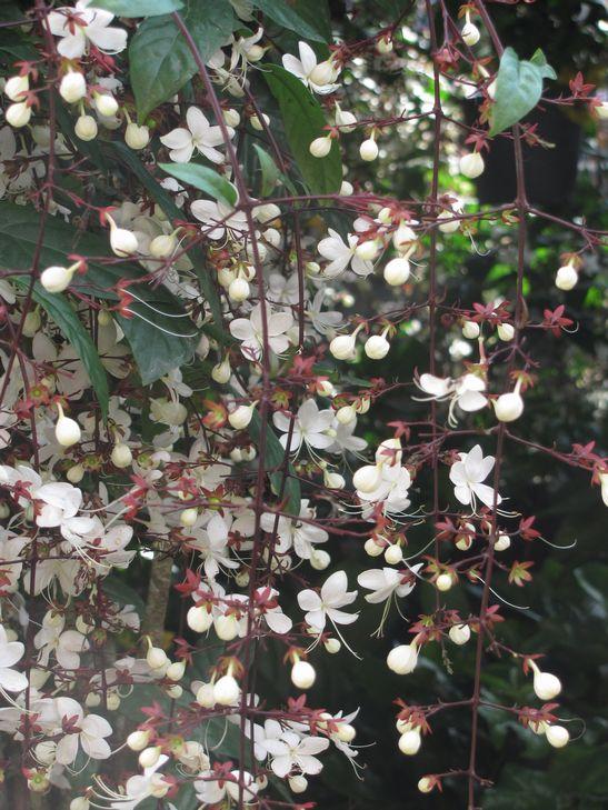 バギオ・フラワーフェスティバル 3月3日まで --- Session Road in Bloom_a0109542_1271066.jpg