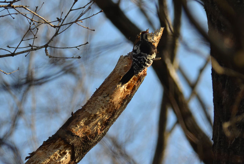 2月下旬 春の兆しは見つからず・・でも・・オオアカゲラ(^^)/_b0078795_18351885.jpg