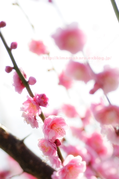 梅の便りの早春賦_a0229217_217019.jpg
