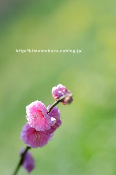 梅の便りの早春賦_a0229217_218981.jpg