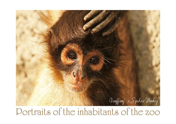ジェフロイクモザル:Geoffroy's Spider Monkey_b0249597_13314247.jpg