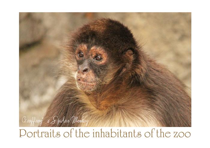 ジェフロイクモザル:Geoffroy's Spider Monkey_b0249597_13332828.jpg