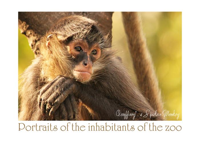ジェフロイクモザル:Geoffroy's Spider Monkey_b0249597_13354978.jpg