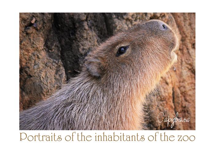 カピバラ:Capybara_b0249597_13412364.jpg