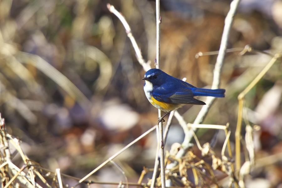地元の鳥_e0268015_10254734.jpg