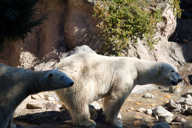 International Polar Bear Day on February 27th, 2013_a0016730_13583643.jpg
