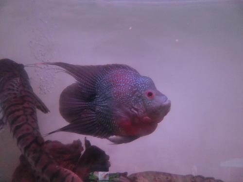 2013年熱帯魚入荷情報!Vol.04 (2/10~3/3) _b0141806_333579.jpg