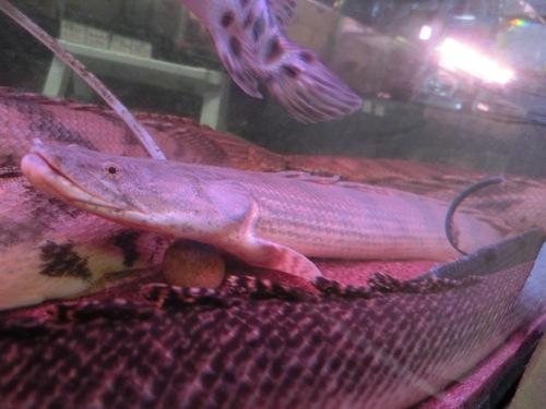 2013年熱帯魚入荷情報!Vol.04 (2/10~3/3) _b0141806_343532.jpg