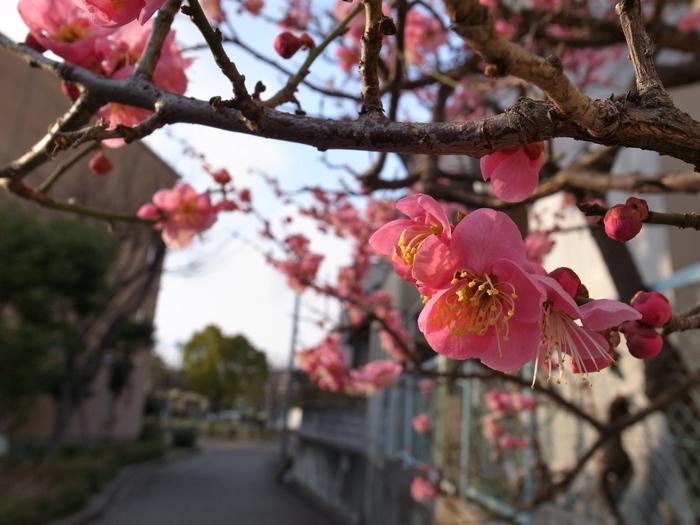 梅が咲きました_d0025831_050451.jpg