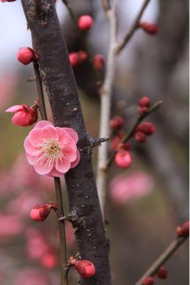 梅の花_a0059281_111333100.jpg