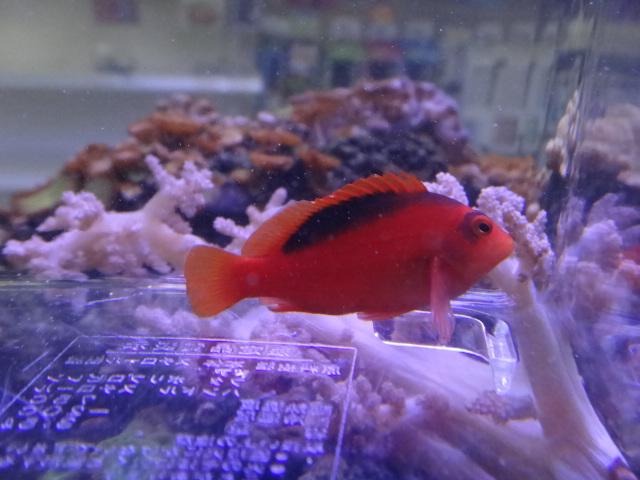 130306 海水魚・サンゴ・水草・淡水魚_f0189122_1234428.jpg