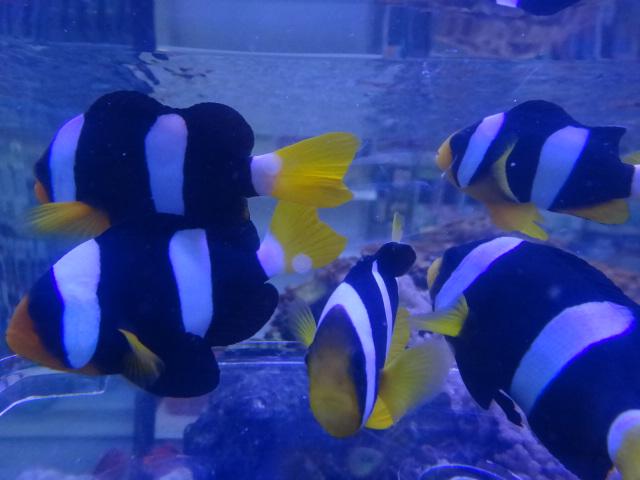130306 海水魚・サンゴ・水草・淡水魚_f0189122_12352664.jpg