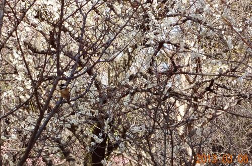 野川、武蔵野公園の野鳥(キタテハ、ヤガラ、シロハラ、コゲラ)_e0223735_156625.jpg