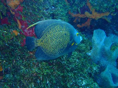 カンクンツアーコスメル編 カリブ海の魚たち COZUMEL/ MEXICO_e0184067_12492246.jpg