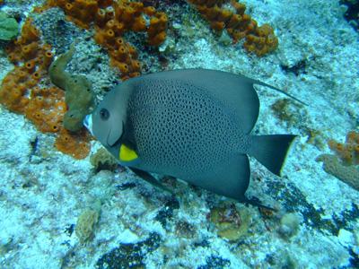 カンクンツアーコスメル編 カリブ海の魚たち COZUMEL/ MEXICO_e0184067_12493289.jpg