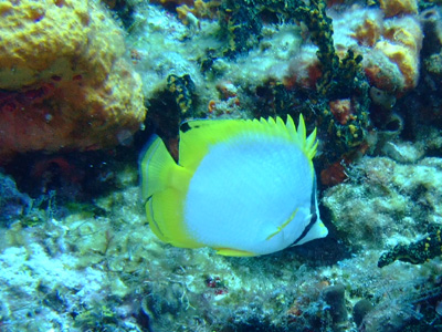 カンクンツアーコスメル編 カリブ海の魚たち COZUMEL/ MEXICO_e0184067_12495864.jpg
