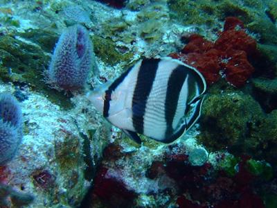 カンクンツアーコスメル編 カリブ海の魚たち COZUMEL/ MEXICO_e0184067_12501926.jpg