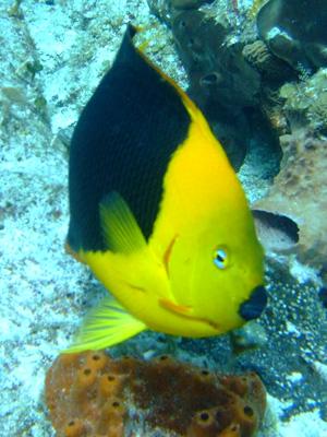 カンクンツアーコスメル編 カリブ海の魚たち COZUMEL/ MEXICO_e0184067_12502824.jpg