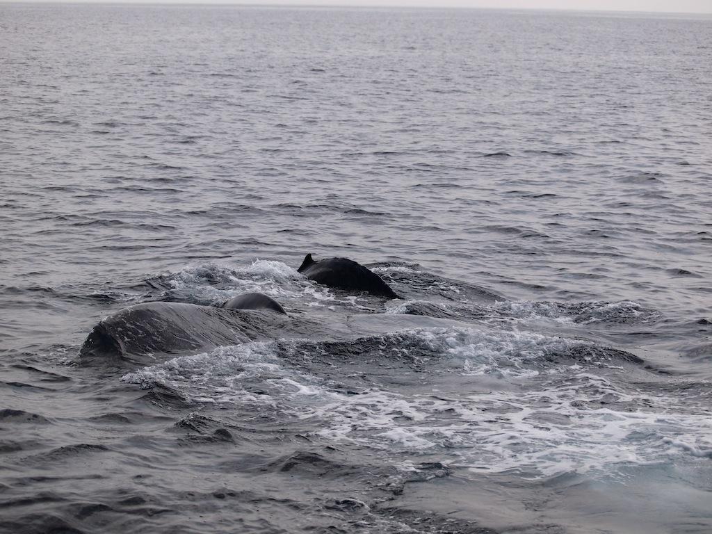 3/6 ザトウクジラ全島一斉調査_a0010095_1948132.jpg