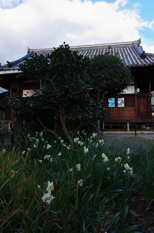 水仙咲き乱れる恵心院_f0155048_2217236.jpg