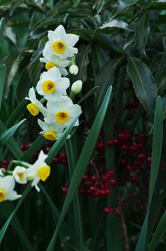 水仙咲き乱れる恵心院_f0155048_22202837.jpg