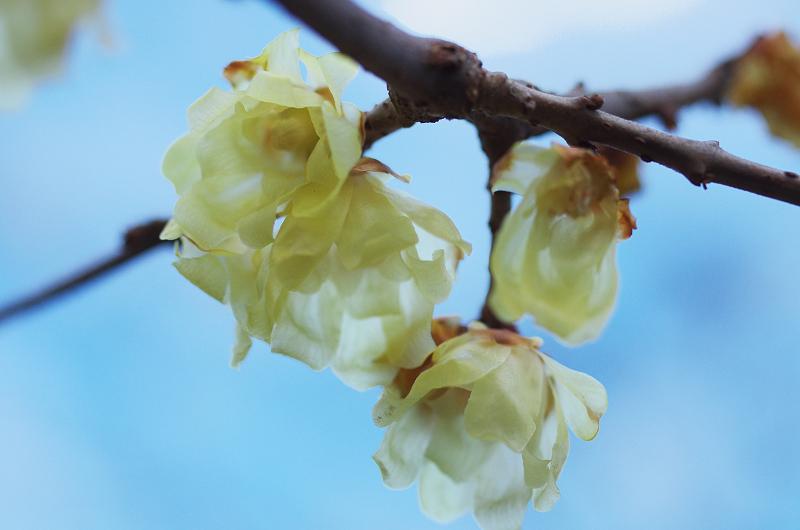 水仙咲き乱れる恵心院_f0155048_22211548.jpg